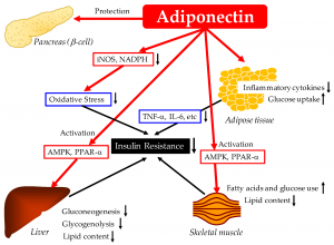 Photo showing how the hcg diet affects adiponectin and leads to weight Loss.